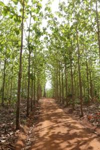 -1 in de plantage met op de achtergrond een boom van het oerbos